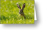 Jackrabbit Greeting Cards - European Hare Greeting Card by Jeffrey Van daele