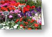 Impatiens Flowers Greeting Cards - European Markets - Geraniums Greeting Card by Carol Groenen