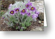 Pasqueflower Greeting Cards - European Pasqueflower Greeting Card by Adrian Thomas