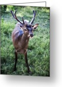 Barry Styles Greeting Cards - European Red Deer 0827 Greeting Card by Barry Styles