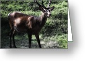 Barry Styles Greeting Cards - European Red Deer 0831 Greeting Card by Barry Styles
