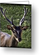 Barry Styles Greeting Cards - European Red Deer 0834 Greeting Card by Barry Styles