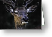 Barry Styles Greeting Cards - European Red Deer 2990 Greeting Card by Barry Styles