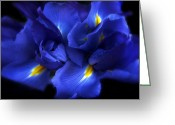 Vibrant Photo Greeting Cards - Evening Iris Greeting Card by Jessica Jenney