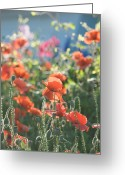 Evening Light Greeting Cards - Evening Lights the Poppies Greeting Card by Lisa Knechtel