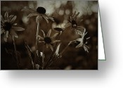 Black Eyed Susans Greeting Cards - Evening Shadows Greeting Card by Bonnie Bruno