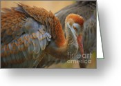 Sandhill Crane Greeting Cards - Evolving Sandhill Crane Beauty Greeting Card by Carol Groenen