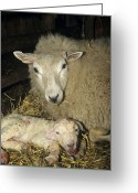 Lambing Greeting Cards - Ewe And New Born Lamb Greeting Card by David Aubrey
