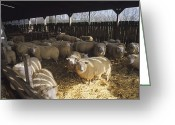Lambing Greeting Cards - Ewes Greeting Card by David Aubrey