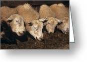 Lambing Greeting Cards - Ewes Feeding Greeting Card by David Aubrey