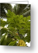 Papaya Greeting Cards - Exotic Garden 7 Greeting Card by Looknon Pix