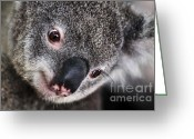 Australian Animal Greeting Cards - EYE am watching you - Koala Greeting Card by Kaye Menner