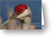 Sandhill Crane Greeting Cards - Eyen You Greeting Card by Reflective Moments  Photography and Digital Art Images