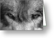 Mammal Photograph Greeting Cards - Eyes of the Wild Greeting Card by Shari Jardina