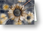 Aster  Photo Greeting Cards - Fading Oxeye Greeting Card by Wenata Babkowski