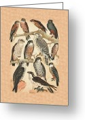Honey Buzzard Mixed Media Greeting Cards - Falcons Greeting Card by Eric Kempson