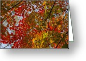 Red Leaves Greeting Cards - Fall 2010 11 Greeting Card by Robert Ullmann