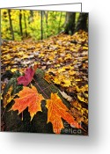 Fallen Leaf Greeting Cards - Fall leaves in forest Greeting Card by Elena Elisseeva
