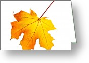 Maple Greeting Cards - Fall maple leaf Greeting Card by Elena Elisseeva