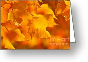 Backlit Greeting Cards - Fall maple leaves Greeting Card by Elena Elisseeva