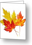 Orange Greeting Cards - Fall maple leaves on white Greeting Card by Elena Elisseeva