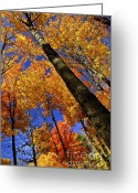 Orange Greeting Cards - Fall maple trees Greeting Card by Elena Elisseeva