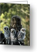 Animal Life Cycles Greeting Cards - Family Portrait Of A Mother Great Gray Greeting Card by Michael S. Quinton