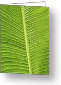 Palm Leaf Digital Art Greeting Cards - Fan Palm Leaf Greeting Card by Lou  Novick