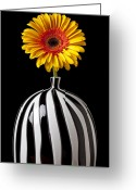 Chrysanthemum Greeting Cards - Fancy daisy in stripped vase  Greeting Card by Garry Gay