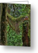 Mystical Greeting Cards - Fascinating Hoh Valley - Hoh Rain Forest Olympic National Park ONP WA USA Greeting Card by Christine Till