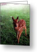 Whitetail Deer Greeting Cards - Fawn in Mist Greeting Card by Thomas R Fletcher