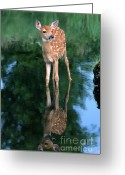 Whitetail Deer Greeting Cards - Fawn Reflection Greeting Card by Sandra Bronstein