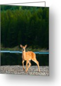 Fawns Greeting Cards - Fawn Greeting Card by Sebastian Musial