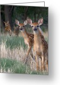 Fawns Greeting Cards - Fawns Fawns Greeting Card by Bill Stephens