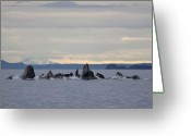 Feeding Greeting Cards - Feeding Humpbacks Number Two Greeting Card by Tim Grams