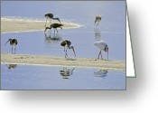 Jensen Beach Greeting Cards - Feeding Ibis Greeting Card by Patrick M Lynch