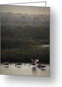 Great Egrets Greeting Cards - Feeding Spoonbills - Florida Wetlands Scene Greeting Card by Rob Travis