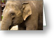 Elephant Pyrography Greeting Cards - Feeling sad Greeting Card by Darren Langlois