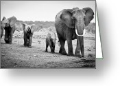 Black And White Animal Greeting Cards - Female African Elephant Greeting Card by Cedric Favero
