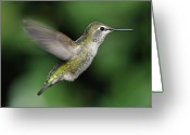 Side View  Greeting Cards - Female Annas Hummingbird In Flight Greeting Card by Barbara Rich