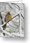 Cardinal Greeting Cards - Female Cardinal 3656 Greeting Card by Michael Peychich