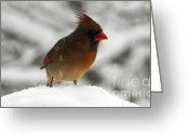 Cardinals. Wildlife. Nature. Photography Greeting Cards - Female Cardinal in Snow Greeting Card by Jennifer Wosmansky