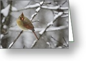 Red Bird Greeting Cards - Female Cardinal in Snow Greeting Card by Rob Travis