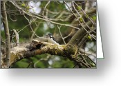 Woodpecker Photos Greeting Cards - Female Downy Woodpecker Greeting Card by John  Greaves