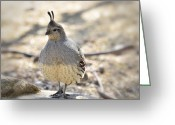 Quail Greeting Cards - Female Gambels Quail  Greeting Card by Saija  Lehtonen