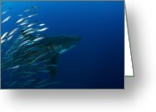 Gill Island Greeting Cards - Female Great White Shark With A School Greeting Card by Todd Winner