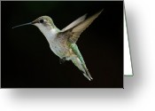 Missouri Greeting Cards - Female Hummingbird Greeting Card by DansPhotoArt on flickr
