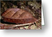 Brown Leaf Greeting Cards - Female Leaf-mimic Bush Cricket Greeting Card by Dr George Beccaloni