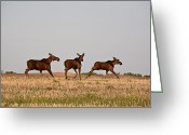 Game Animals Photo Greeting Cards - Female moose with male calves in Saskatchewan field Greeting Card by Mark Duffy