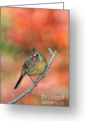 Indiana Autumn Greeting Cards - Female Northern Cardinal - D007809 Greeting Card by Daniel Dempster